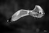 Saylorville Gulls
