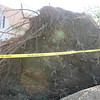 Sedg-Downed-Tree-Roots-CT
