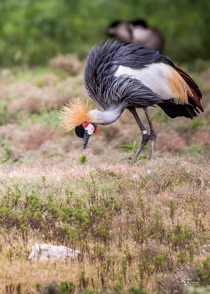 Kansas City Zoo - African Crowned Crane