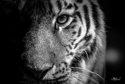 """Amur """"Siberian"""" Tiger"""