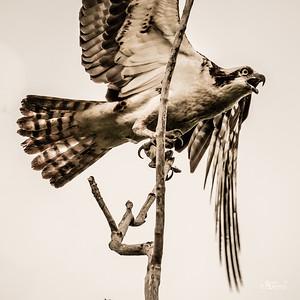 Jester Park Osprey