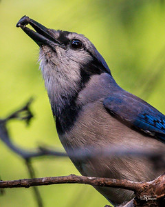 Blue Jay with Seed