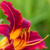 Lavender Flight Daylily