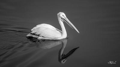 Saylorville Pelican