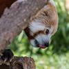 Red Panda - Blank Park Zoo
