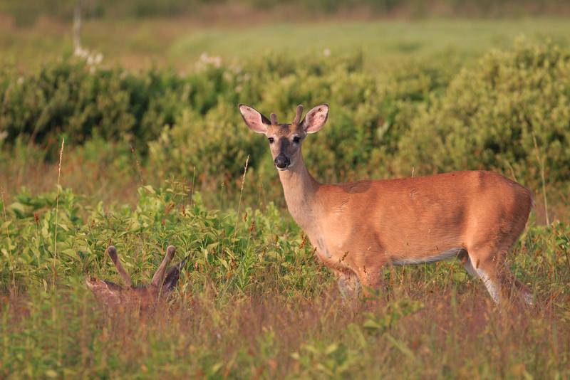 Big Meadows Deer