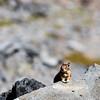 Red-tailed chipmunk, Mount Rainier National Park, Washington.