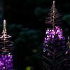 Fireweed, Mount Rainier National Park, Washington.