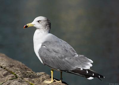 Sea gull, Otaru.