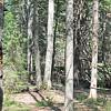 WP-Greenbie-pine-tree-072816-CT