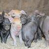 CP-horsepower-farm-piglets-050516-AB
