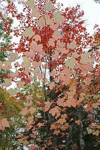 WP-fall-foliage-thin--tree-100616-AB