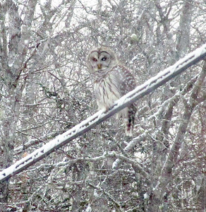 CP-snow-photos-owl-on-wire-in-snow-011416-ML