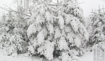 CP-snow-scenics-fir-trees-021116-AB