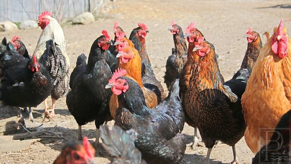 CP-horsepower-farm-chickens-two-050516-AB