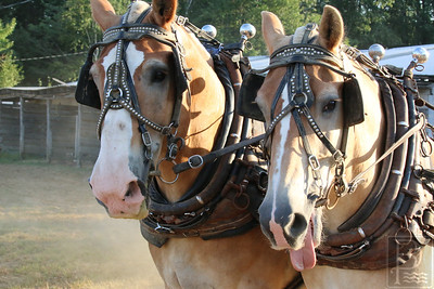 WP-BHF-pulling-harness-horses-two--090816-AB