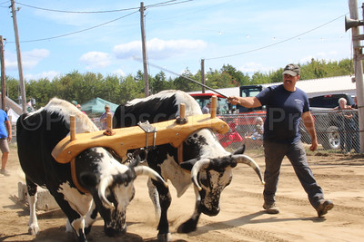 WP-BHF-pulling-harness-racing-horses-steer-two-090816-AB