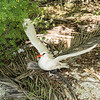 Red-tailed tropicbird trying to take off