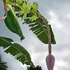 Banana  tree with pod