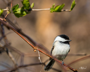 Black-capped Chickadee at Walnut Woods