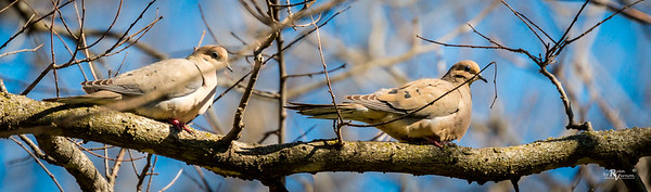 Mourning Doves at Walnut Woods