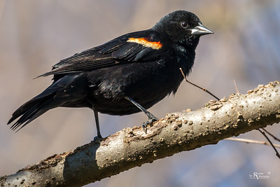 Red-winged Blackbird at Walnut Woods