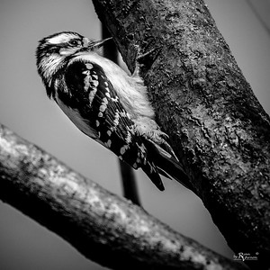 Female Hairy Woodpecker at Walnut Woods