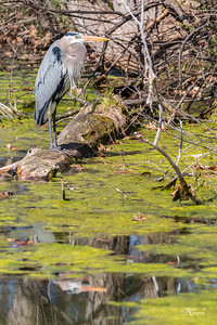 Great Blue Heron in the Muck