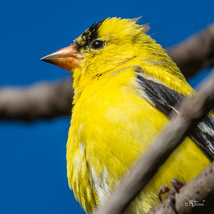American Goldfinch at Walnut Woods