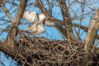 Red-tailed Hawk Crashing the Nest