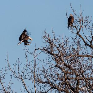 Des Moines Bald Eagle