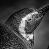 Penguins - Blank Park Zoo