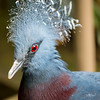 Victoria Crowned Pigeon - Blank Park Zoo