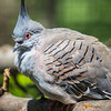 Crested Pigeon - Blank Park Zoo