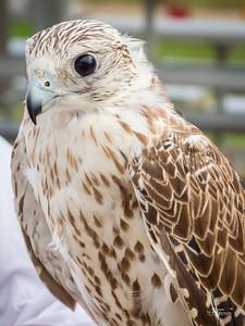 Hunting Falcon - Des Moines Renaissance Faire
