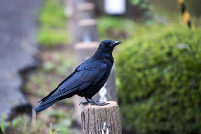 Raven in Senshu park, Akita.