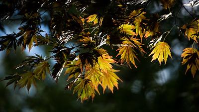 Autumn leaves in Senshu park, Akita.