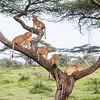 Lion Family Tree