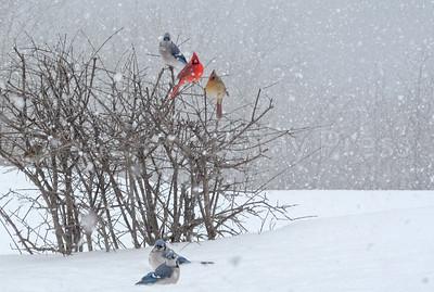 CP-snow-birds-birds-021617-AB