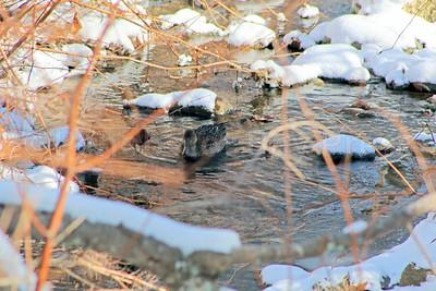 WP-ducks-in-stream-one-011217-AB