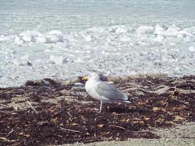 CP-scenic-seagull-031617-ML