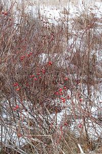 CP artwork winter berries 033017 ML