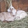 IA Yellow Birch Farm babies cuddling 033017 ML