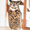 IAWP_WWW_Owls_Great_Horned_tall_052517_AA