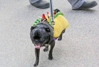 WP_pug_parade_Taco_Pug_101917_ML