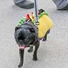 WP_pug_parade_Taco_Pug_101917_ML