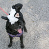 WP_pug_parade_Skunk_Pug_101917_ML