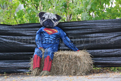 WP_pug_parade_Superman_101917_ML