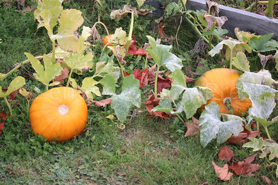 WP_Sedgwick_apple_fest_pumpkins_100517_AB