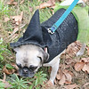 WP_pug_parade_witch_101917_ML
